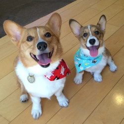Kirsten's corgis Ventus and Bagel